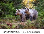 Two Young Brown Bears In The...