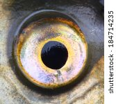 Small photo of Close up of a fish eye (Common bream - Abramis brama)