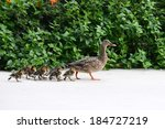 Female Mallard  Duck Mother...