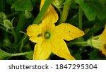 Field Pattypan Flower Blossom...