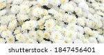 White Chrysanthemum Flowers...