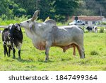 Ox Guzera Was The First Breed...