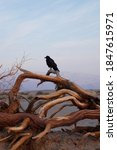 Crow Perched On A Mesquite Tree ...