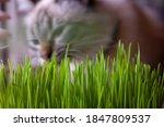 A Pet Cat Eating Fresh Green...