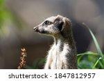 Slender Tailed Meerkat ...