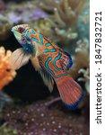 Mandarin Salt Water Fish With...
