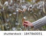Common Milkweed  Asclepias...