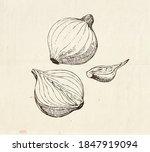 onion bulb illustration  cut in ... | Shutterstock .eps vector #1847919094