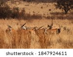 A Herd Of Eland Antelope In...