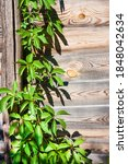 Parthenocissus Quinquefolia ...