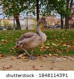The Grey Mute Swan In Prague...