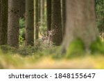 Fallow deer observe territory during the rut. Deer standing in the wood. European nature. Wildlife animals in the autumn season.  - stock photo