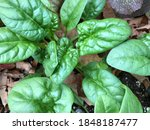 Close Up On Leaves Of Spinach...