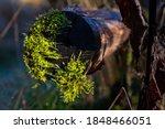 Moss In Autumn Sunlight On...