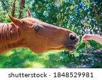 Portrait Of Chestnut Horse...