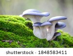 Blue Hat Of Oyster Mushrooms...