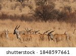 View Of A Herd Of Eland...