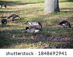 Canada Geese Grazing In A Park.