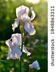 White Iris Flowers On A Green...