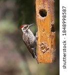 Arizona Woodpecker ...