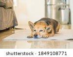 Senior Mixed Breed Dog Resting...