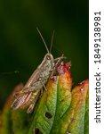 Brown Grasshopper On Red Green...