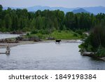 View Of A Wild Female Moose Cow ...