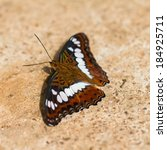 Small photo of Close up of Commander (Moduza procris milonia) butterfly puddling on the ground