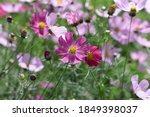 The Cosmos Flowers Growing In A ...