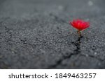 Small photo of beautifully resilient flower growing out of dark crack in asphalt