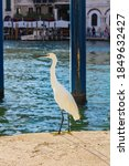 Snowy Egret In The Streets Of...