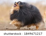 Fluffy Dog   Breed Pomeranian...