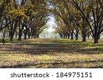 Landscape Pecan Grove Row
