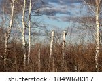 Birch With Remnants Of Leaves...