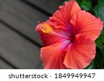Vivid Red Hibiscus Flower In...