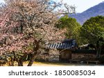 White And Pink Plum Flowers In...