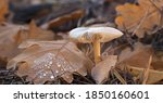 Beautiful closeup of forest mushrooms, autumn season. Wild fungus on a bed of moss, yellow leaves and pine needles. Blurred background.