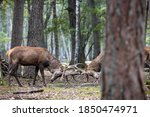 Two Red Deer Clashing His...