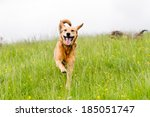 Stock photo happy dogs having fun in a field of springtime buttercups in the uk 185051747