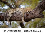 A Cheetah In The Branches Of A...