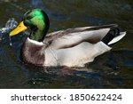 Male Mallard Ducks At The Lake...