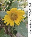Close Up Of Sunflower.thailand...
