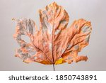 Colourful Decay Of Maple Leaf....