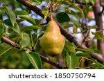 Harvesting A Pear Tree. Sweet...