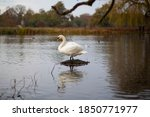 Swan On A Lake In Autumn