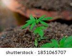 Small Hemp Plants In The Soil...