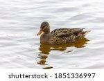 Wild Ducks   Mallard Duck Swim...