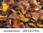 Wet Autumn Leaves With Water...