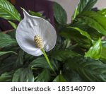 Peace Lily Flower ...