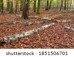 Rotting Birch Wood In The...